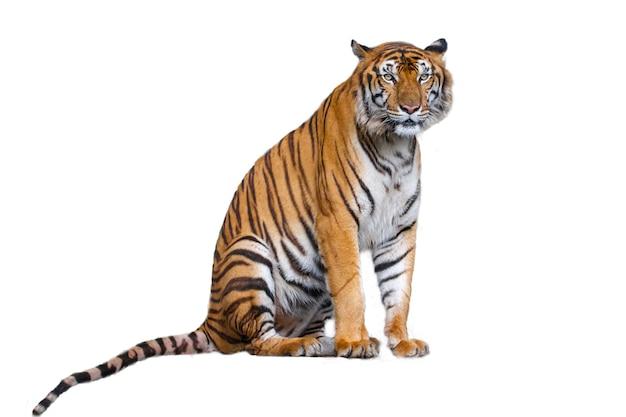 Der tiger setzt sich isoliert hin