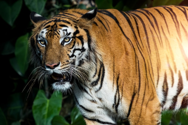 Der tiger steht da, um etwas mit interesse anzusehen. (panthera tigris corbetti) im natürlichen lebensraum, wildes gefährliches tier im natürlichen lebensraum, in thailand.