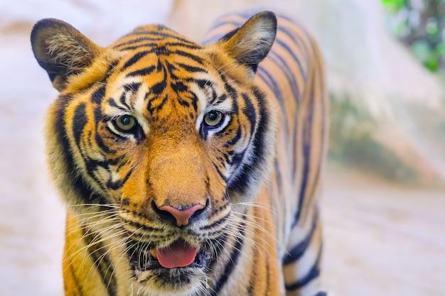 Der tiger steht hinter den grünen ästen. (indochinesischer tiger)