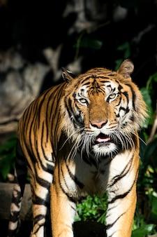 Der tiger sucht im wald nach nahrung. (panthera tigris corbetti) im natürlichen lebensraum, wildes gefährliches tier im natürlichen lebensraum, in thailand.