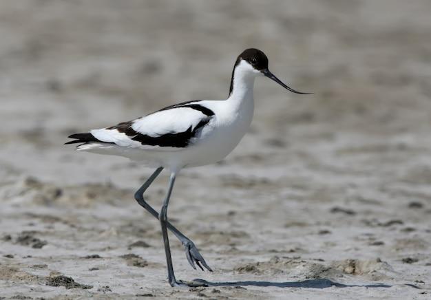 Der trauerschnäbler (recurvirostra avosetta) steht auf dem sand