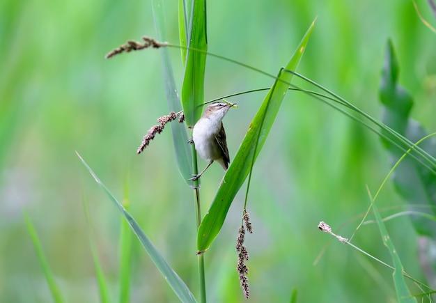 Der unermüdliche seggensänger (acrocephalus schoenobaenus) hält futter für seine küken im schnabel