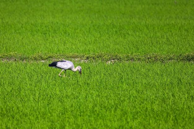 Der vogel im reisfeld auf dem land in asien