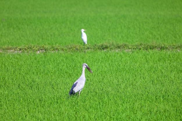 Der vogel im reisfeld in der landschaft bei asien