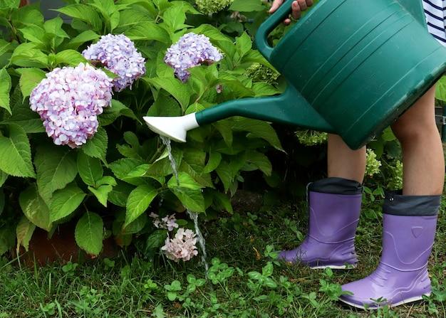 Der vorgang des gießens von hortensien aus einer gießkanne. der gärtner gießt die pflanzen im garten. das konzept der gartenarbeit, pflanzenpflege