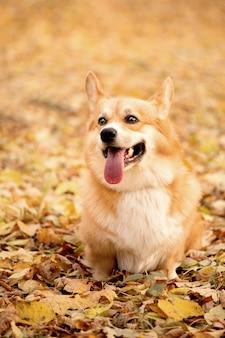 Der walisische corgi pembroke hund sitzt mit ausgestreckter zunge