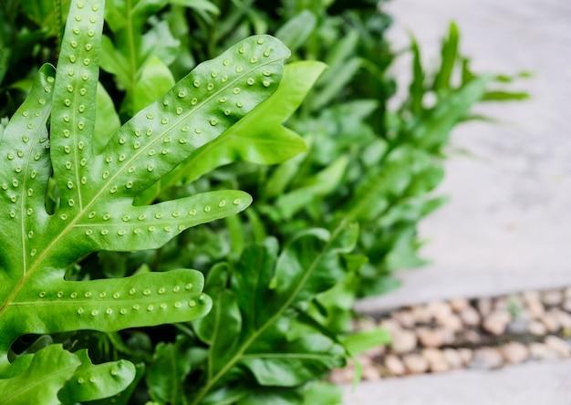 Der warzenfarn von hawaii oder maile-scented farngrün verlässt hintergrund