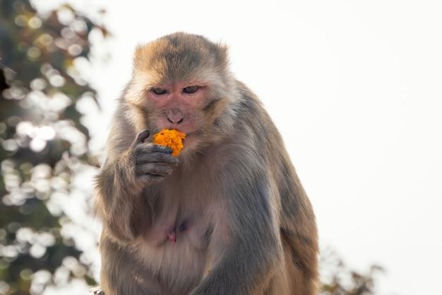 Der weibliche makaken hat in seinem natürlichen lebensraum gelbe blüten. indien. ein böser affe mit einem harten blick. aggressiver affe