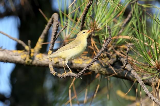 Der weidenrohrsänger (phylloscopus trochilus) sitzt in hellem sonnenlicht auf einem ast. Premium Fotos