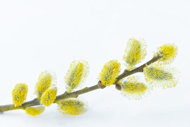 Der weidenzweig mit pollen