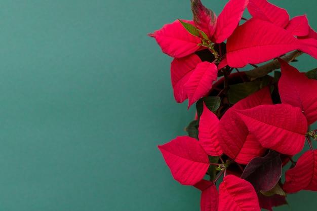 Der weihnachtsstern auf grünem hintergrund, auch bekannt als christmas flowe, weihnachtsblumendekoration, rotes und grünes laub