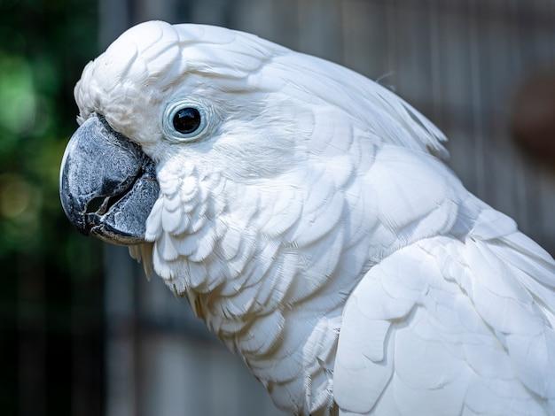 Der weiße kakadu (cacatua alba), auch als regenschirmkakadu bekannt, ist ein mittelgroßer weißer kakadu, der im tropischen regenwald auf den inseln indonesiens endemisch ist.