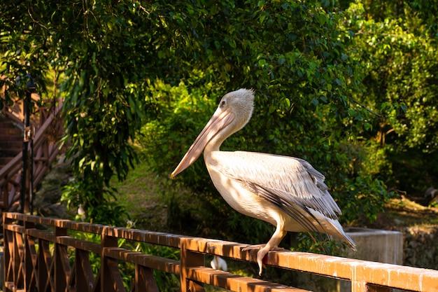 Der weiße pelikan, der im vogelpark lebt, sitzt am geländer der brücke