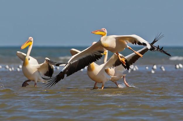 Der weiße pelikan hebt vom wasser der packpelikane ab