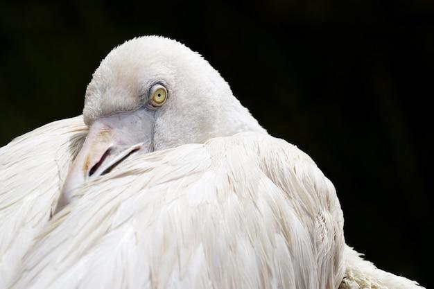 Der weiße reiher versteckte seinen schnabel unter dem flügel und sieht gerade aus