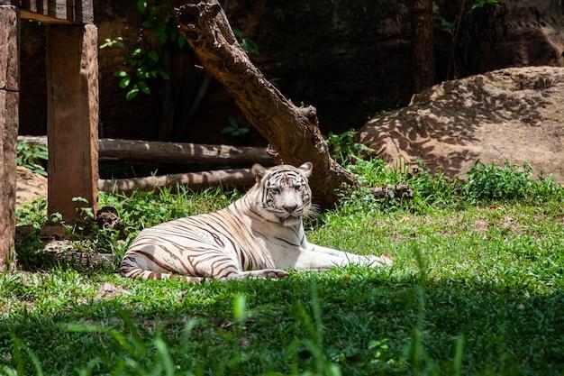 Der weiße tiger, gebleichter tiger.