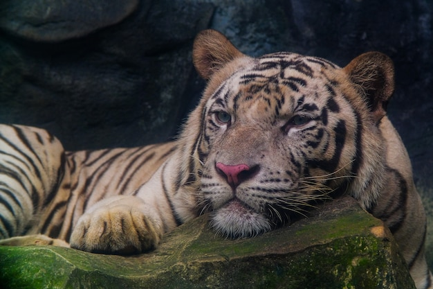 Der weiße tiger starrte auf den felsen.