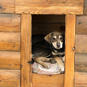 Der welpe schaut aus der hundehütte