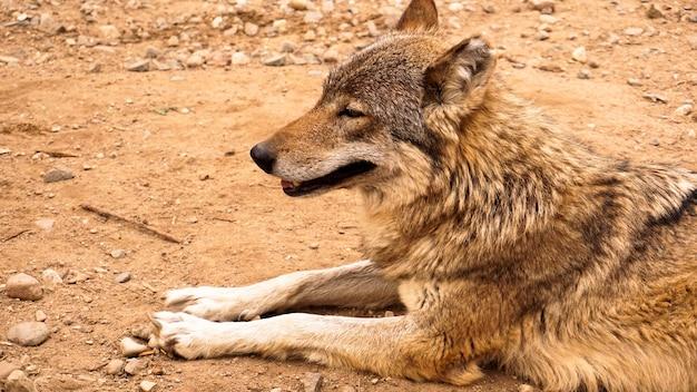Der wilde wolf liegt und schaut in das konzept der wilden tiere in der ferne