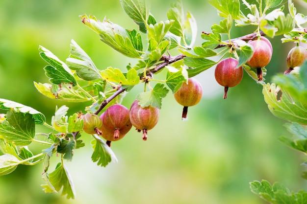 Der zweig der stachelbeere mit früchten in der reifezeit. beeren von stachelbeeren