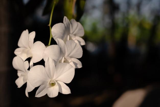 Der zweig der weißen orchidee