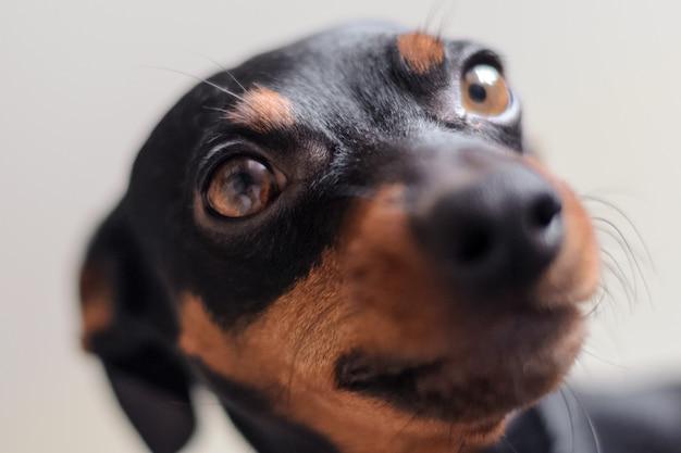 Der zwergpinscher schaut in die augen. portrait eines hundes