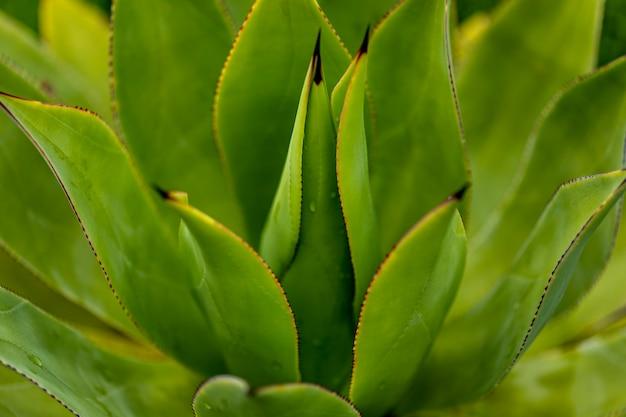 Detail der agavenpflanze
