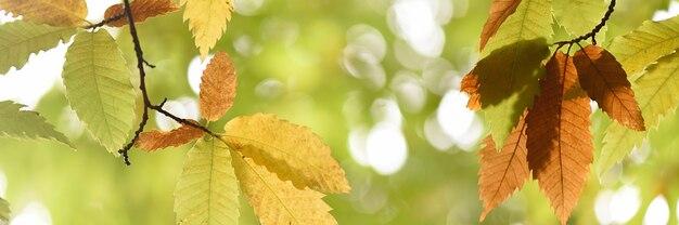 Detail der blätter eines castallo im herbst mit gelben farben, fahne
