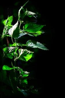 Detail der brennnesselpflanze auf einem schwarzen hintergrund