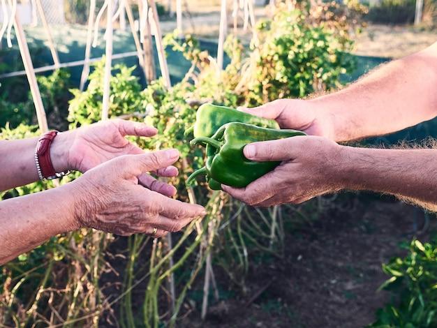 Detail der hände des älteren paares. einer gibt dem anderen ein paar grüne paprikaschoten mit einem obstgarten im hintergrund