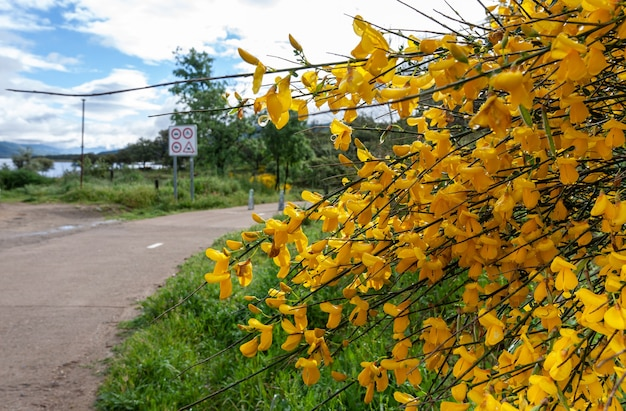 Detail der intensiv gelben blüten der strauchpflanze, die allgemein als ginster cytisus scoparius bekannt ist
