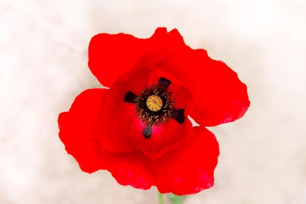 Detail der roten mohnblume im frühjahr auf weißem hintergrund