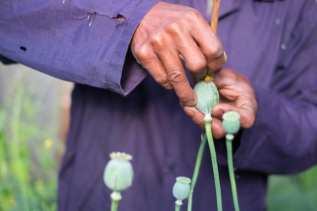 Detail der schnittmohnköpfe mit messer, opiumlatex zu ernten