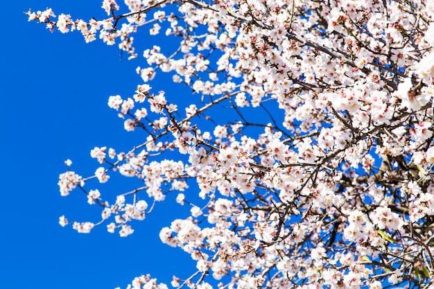 Detail der zweig- und mandelblüten im frühjahr.