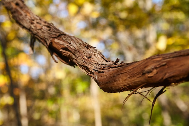 Detail des großen herbstbaumzweigs mit rinde und gelbgrünem hintergrundunschärfe