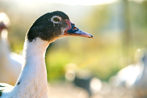 Detail eines entenkopfes. enten ernähren sich vom traditionellen ländlichen scheunenhof. schließen sie oben vom wasservogel, der auf scheunenhof steht. freilandhaltung geflügelzucht konzept.