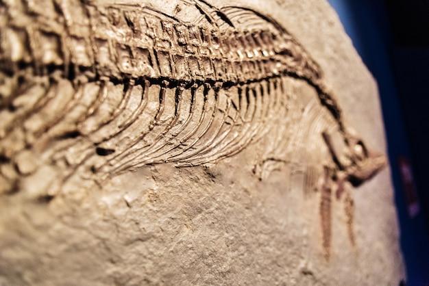 Detail eines fossilen ichthyosaurus.