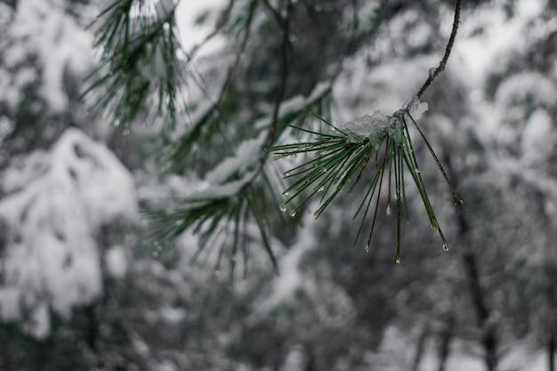 Detail eines schneebedeckten tannenzweigs