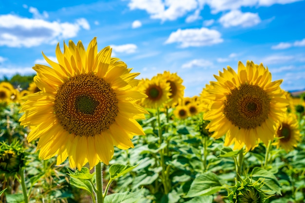 Detail von sonnenblumen in einem feld von sonnenblumen im sommer offen mit blick auf die sonne