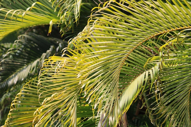 Detailansicht der blätter der königspalme.