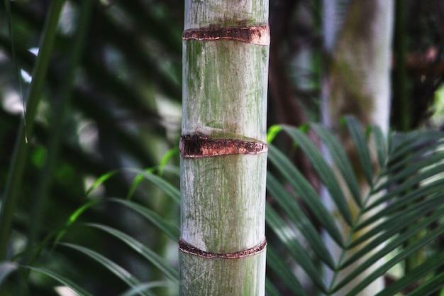 Detailansicht der royal palm tree stamm.