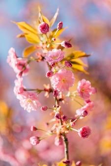 Detaillierte nahaufnahme der blühenden sakura-blumen. sonniger frühlingstag.