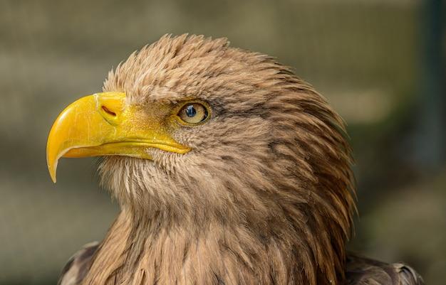 Detailliertes porträt des seeadlers im zoo
