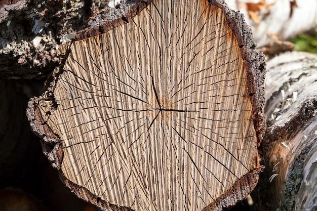 Details des alten rissigen birkenstammes nach dem schneiden zum abholzen
