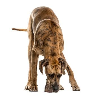 Deutsche dogge, die den boden riecht, isoliert auf weiß
