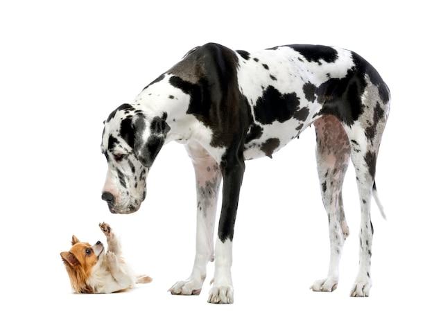 Deutsche dogge, die einen chihuahua vor einem weiß betrachtet