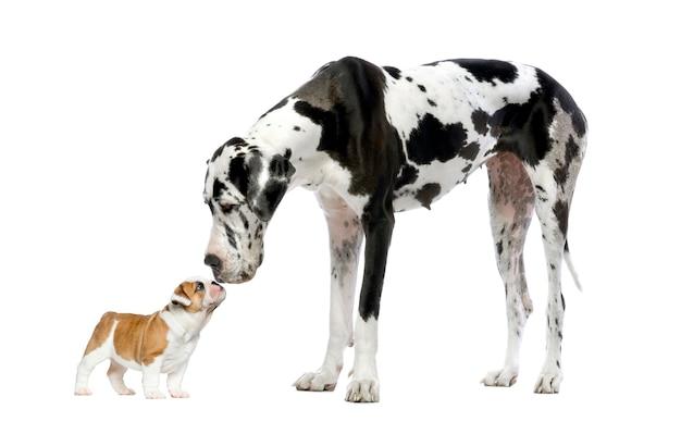 Deutsche dogge, die einen welpen der französischen bulldogge vor einem weißen betrachtet
