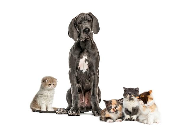 Deutsche dogge sitzt, exotisches kurzhaarkätzchen, europäisches kurzhaarkätzchen, hochlandkätzchen