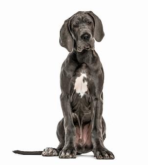 Deutsche dogge sitzt, isoliert auf weiß