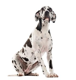 Deutsche dogge sitzt und schaut isoliert auf weiß
